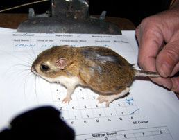 Stephen's Kangaroo Rat in Captivity